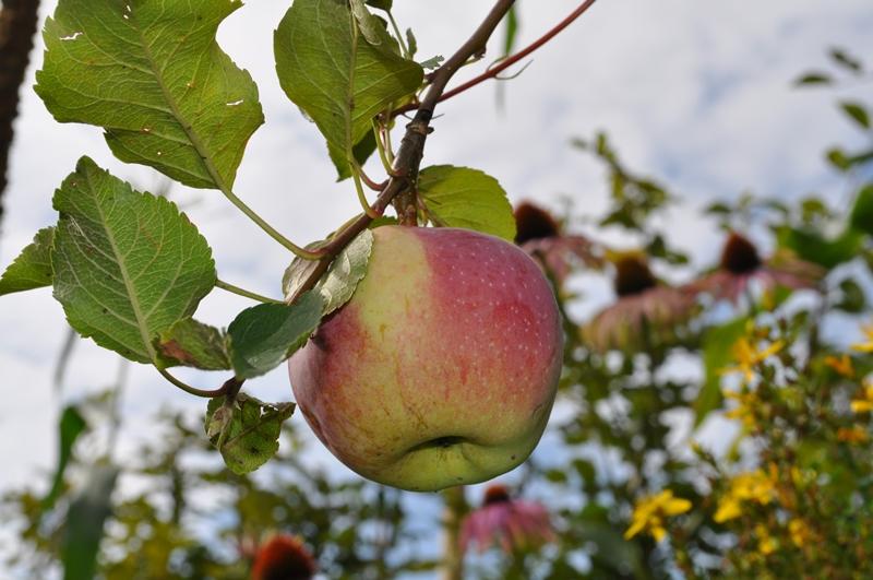 Die Äpfel verfärben sich rötlich.